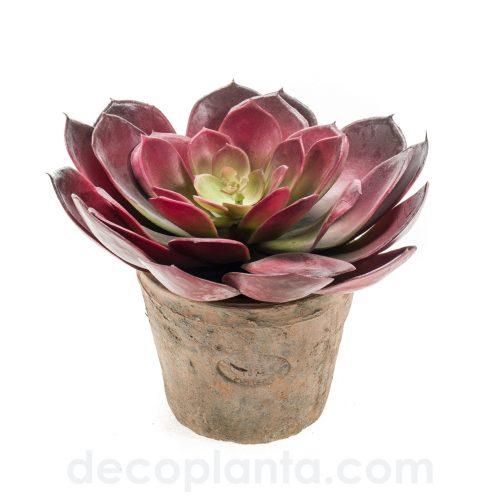 Echeveria pelusida bush. Diámetro: 20 cm. Color burdeos en lata redonda envejecida de 11 cm